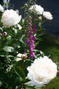 Denise\'s peonies and foxgloves
